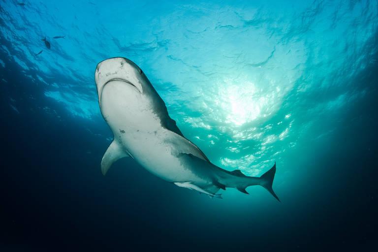 Tubarão cabeça chata na série 'Ameaçados', do canal Off