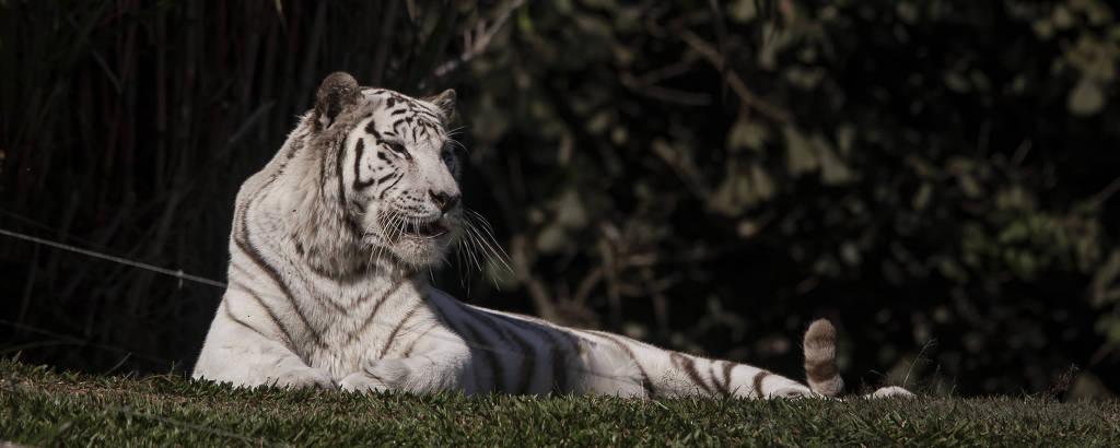 Tigre-de-Bengala branco deitado sobre grama do zoológico de SP