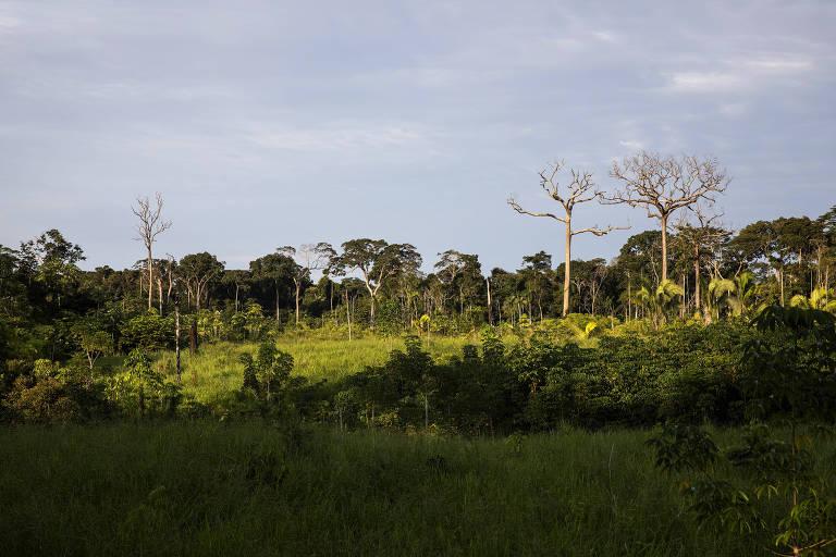 Castanheiras mortas em área desmatada