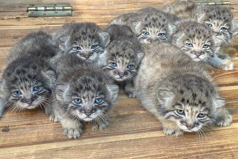 Filhotes de gato-de-palla