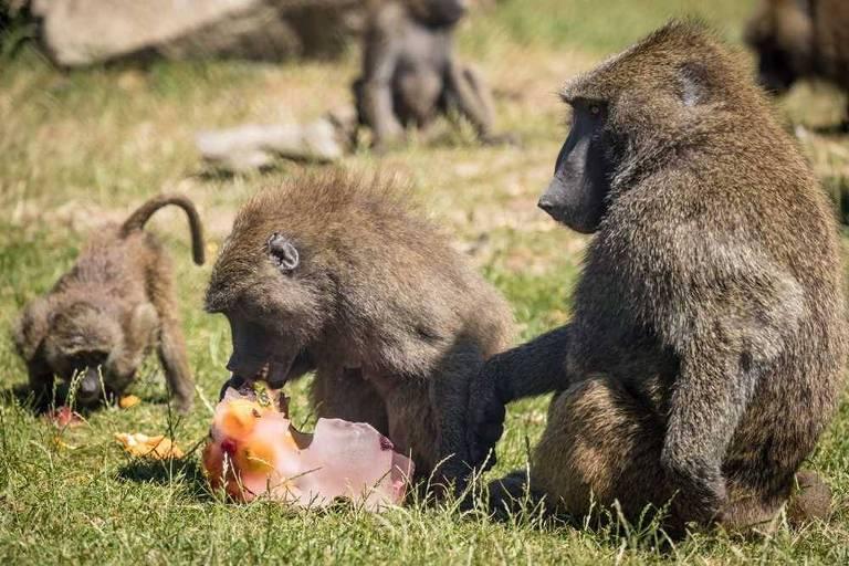 Babuínos do Knowsley Safari Park, no Reino Unido