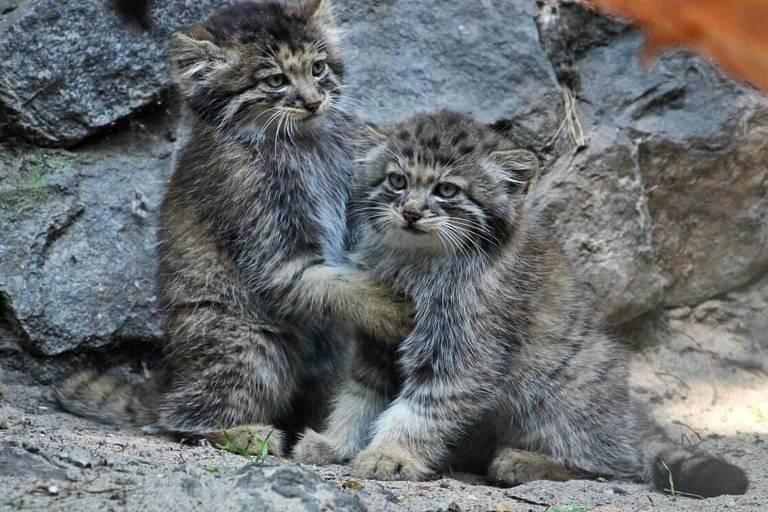 Nascimento de dezesseis gatos-de-pallas na Rússía