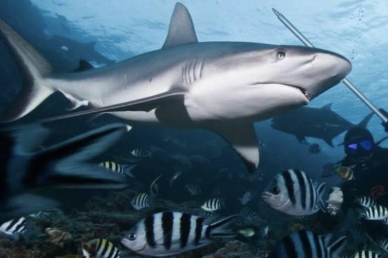 A pesquisa indica que a pesca é responsável pela diminuição da quantidade de tubarões recifes de coral em todo o planeta