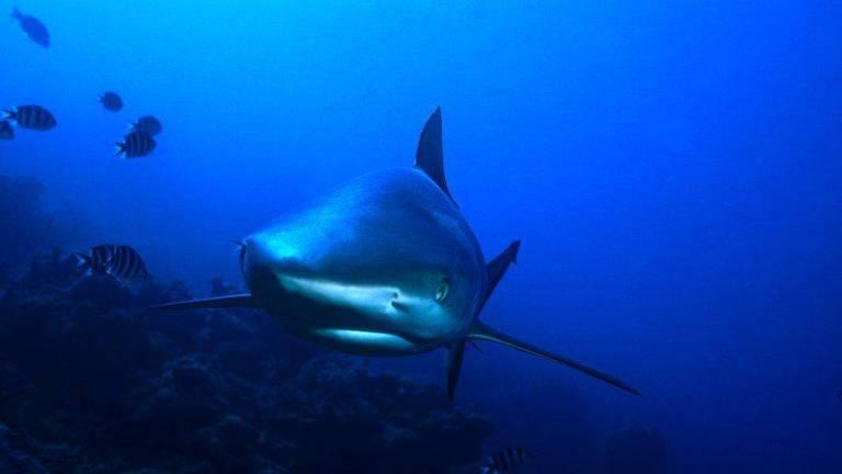 Mais de 15 mil horas de filmagem capturaram 59 espécies diferentes de tubarões