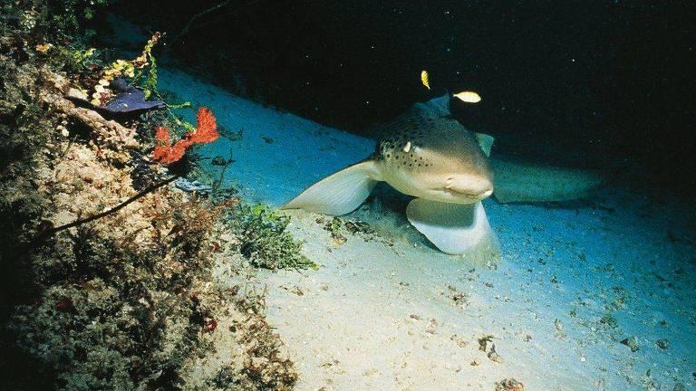 A redução no número de tubarões está afetando a saúde dos recifes de coral