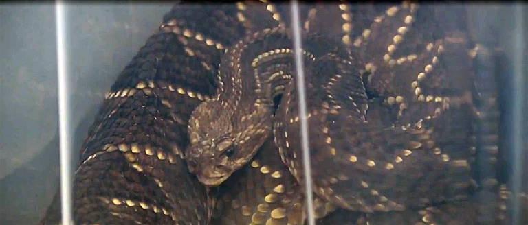 Cobras foram resgatadas de casa em Mandaguari