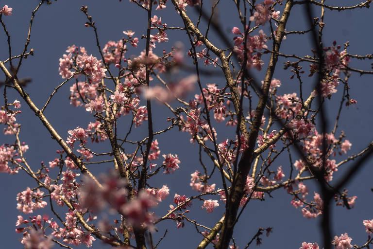 Este ano, não vai ter o tradicional festival das cerejeiras por causa da pandemia de coronavírus.