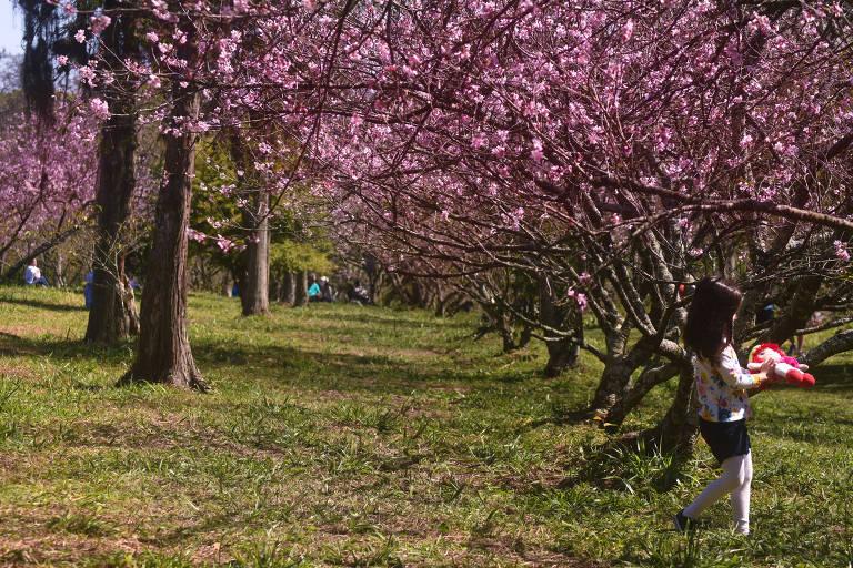Começa a temporada das cerejeiras