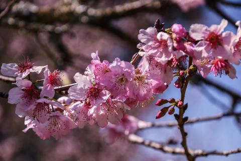 SÃO PAULO / SÃO PAULO / BRASIL - 06/08/20 - :00h -  Começa a temporada das cerejeiras. Vamos ao Parque do Carmo ver a florada da atual estação neste ano atípico, sem  o tradicional festival das cerejeiras. Por causa do inverno quente, a florada das cerejeiras demorou mais a começar neste ano.  ( Foto: Karime Xavier / Folhapress) . ***EXCLUSIVO***COTIDIANO