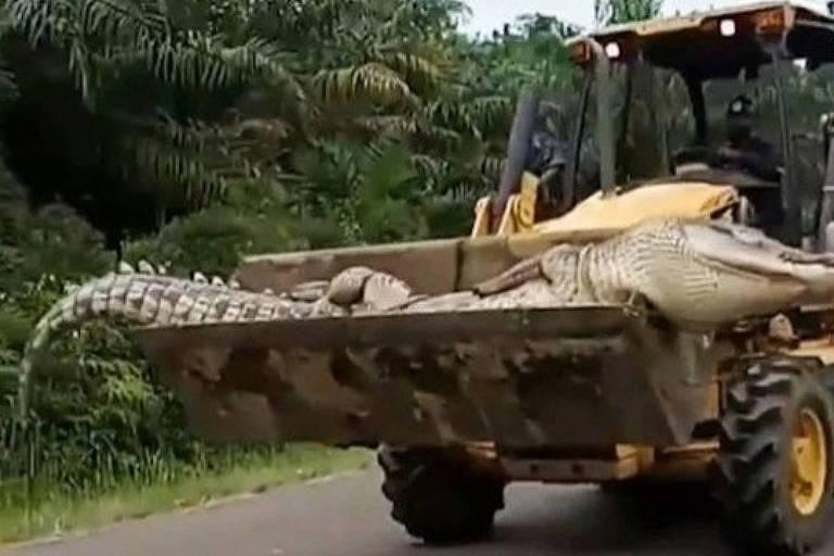 Crocodilo chamado de Demônio é pego na Indonésia