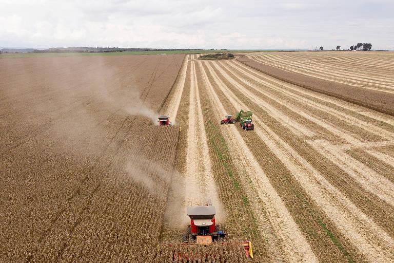 Colheita de milho na zona rural de Planaltina, região administrativa do DF
