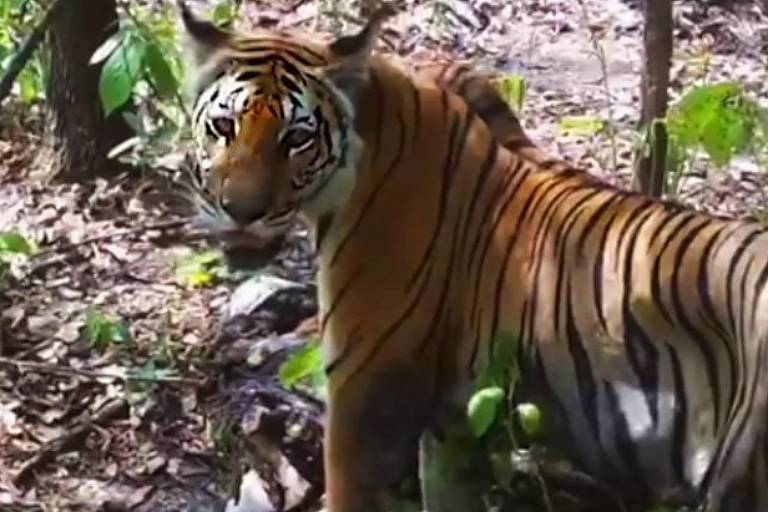 79 tigres foram flagrados na floresta Thungyai-Huai Kha Khaeng, na Tailândia