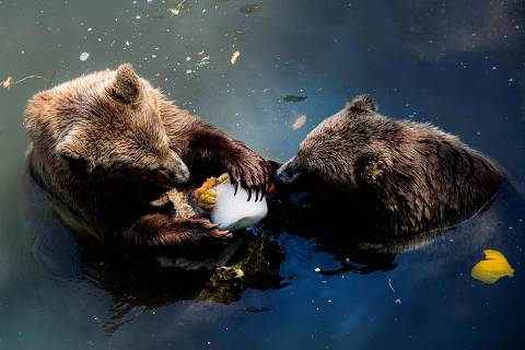 Two bears lick a block of ice with fruits to cool off in their enclosure at the Bioparco zoo during a heatwave in Rome, on August 13, 2020. (Photo by Tiziana FABI / AFP)