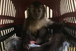filhotes de macacos prego