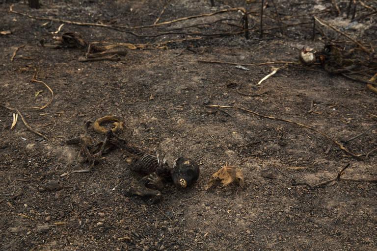 Fogo no Pantanal causa a morte de animais