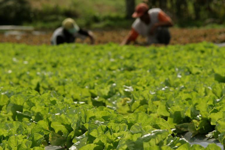 Lavradores trabalham em plantação de alface orgânica da propriedade de José Menino, em 22 de julho de 2005, em Verava, Ibiúna, São Paulo