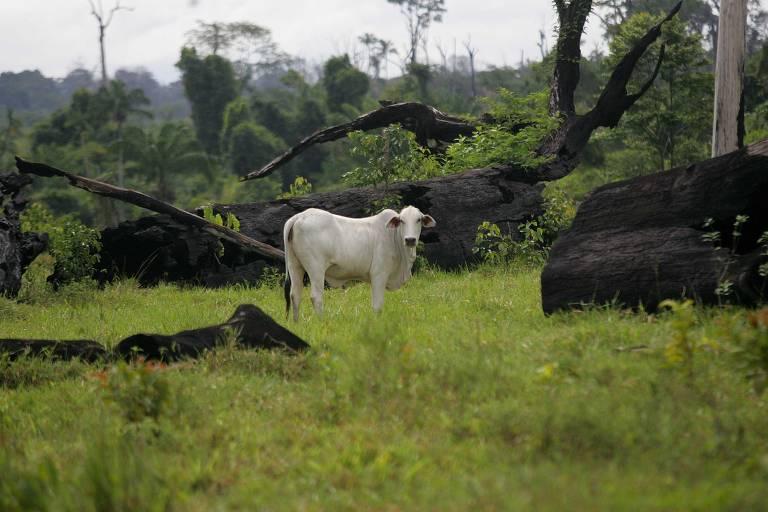 10.jan.2008: Boi em área desmatada para pasto, em São Félix do Xingu (PA). São Félix do Xingu (PA) é o retrato da expansão da pecuária na Amazônia Legal