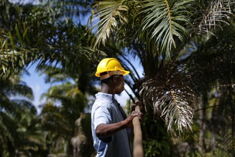 Edmilson santos da Cruz, 41, colhe cacho de dendê na fazenda Misericórdia, a maior produtora da região de Nazaré na Bahia; a produção local de dendê caiu sobretudo pela falta de competitividade do produto e o sistema de produção ainda muito artesanal, com baixíssima produtividade