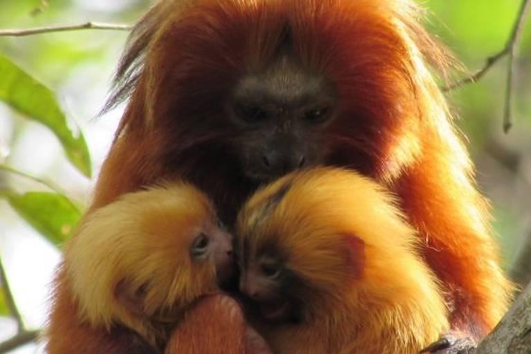 O santuário natural onde o mico-leão-dourado 'ressurgiu das cinzas' e agora ganha um 'viaduto verde'