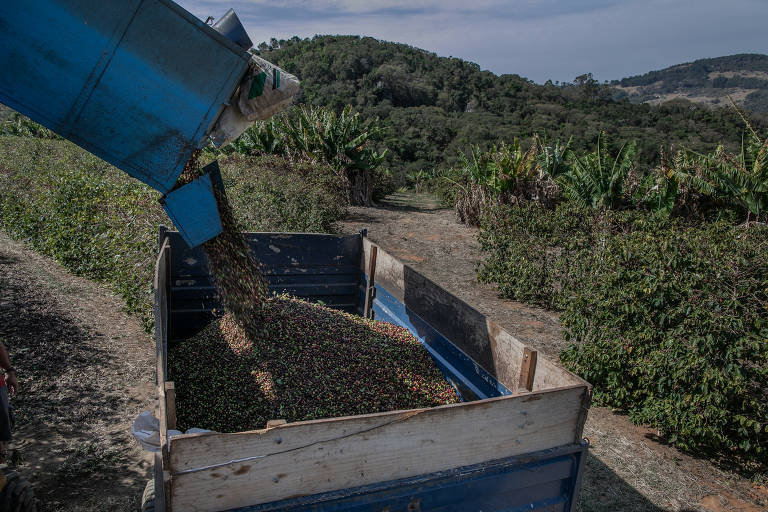 Máquina deposita os grãos colhidos de forma automática na Fazenda 7 Senhoras, em Socorro (SP); a propriedade investiu em maquinário para poder trabalhar com menos funcionários durante a pandemia