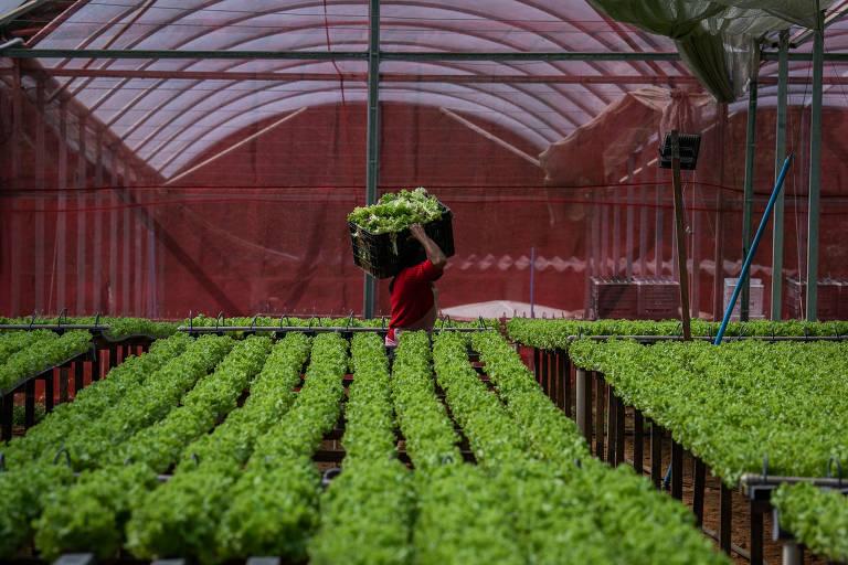 Produtores do cinturão verde de SP doam hortaliças que seriam descartadas
