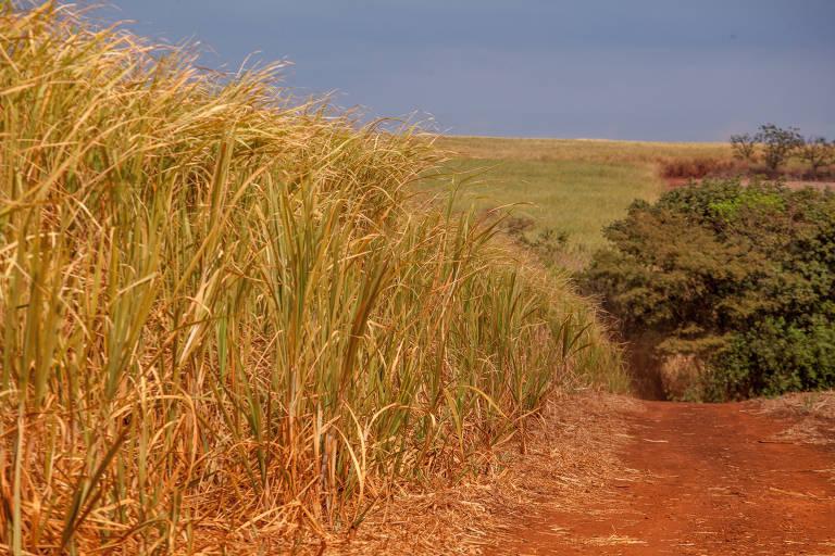 Colheita de cana de açúcar em Ribeirão Preto é atrasada durante a pandemia