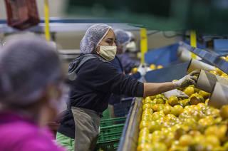 *** Agronegocio de Sao Paulo e os efeitos da pandemia:  Funcionarias Daniele Abadias,23 (de rosa) e Maria do Socorro,23 (azul marinho)  trabalham na selecao de  laranjas ( durante atividade de beneficiamento dessa fruta )na empresa Alfa Citrus.Citricos estao em alta demanda na pandemia