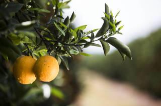 *** Agronegocio de Sao Paulo e os efeitos da pandemia:  Plantacao de laranjas na fazenda Santa Mariana da empresa Alfa Citrus.  Citricos estao em alta demanda na pandemia