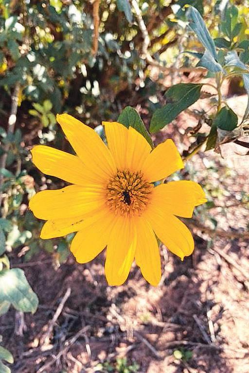 Abelha fecunda flor com o pólen da democracia