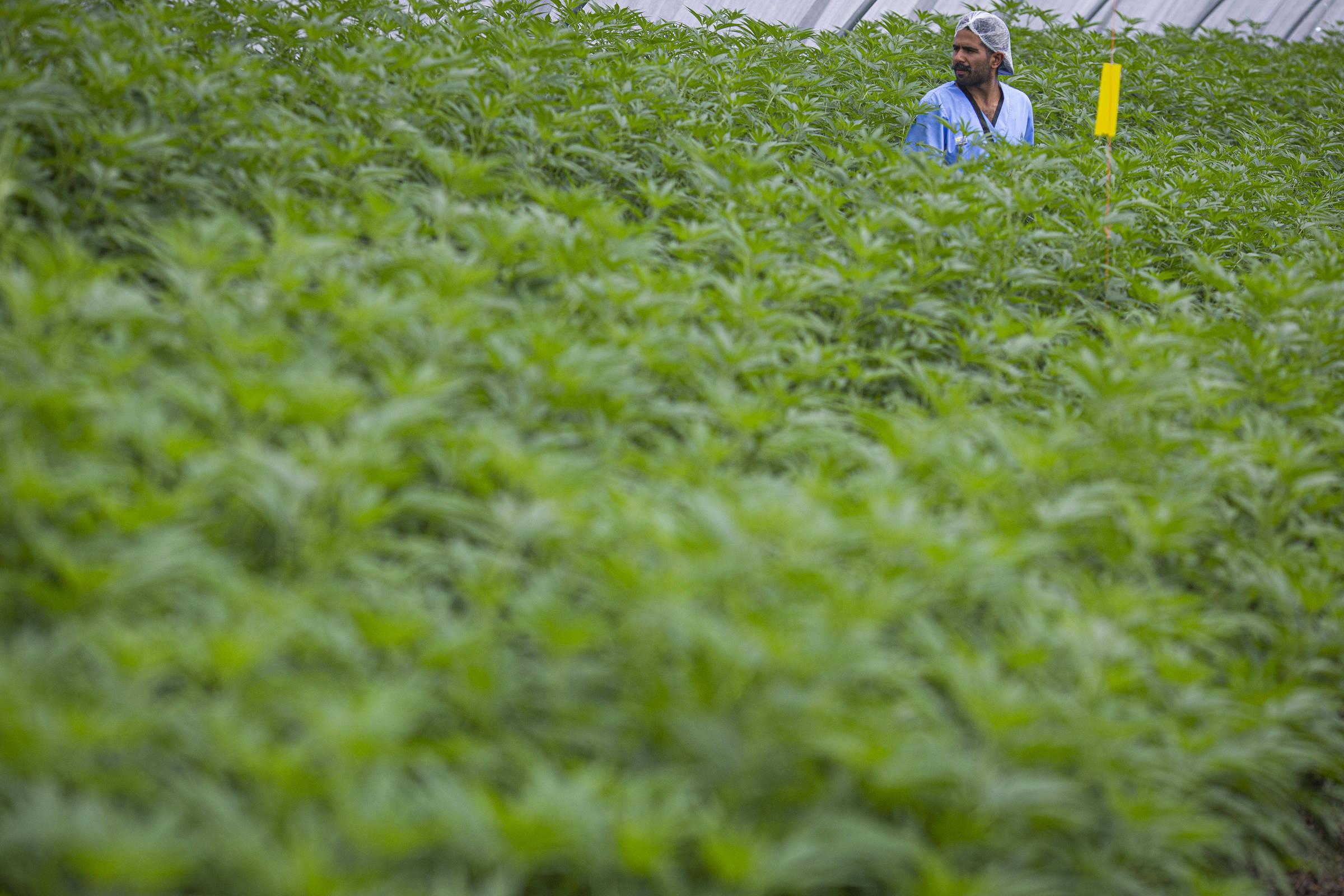 Plantação de maconha da empresa americana Fotmer na cidade de Colônia