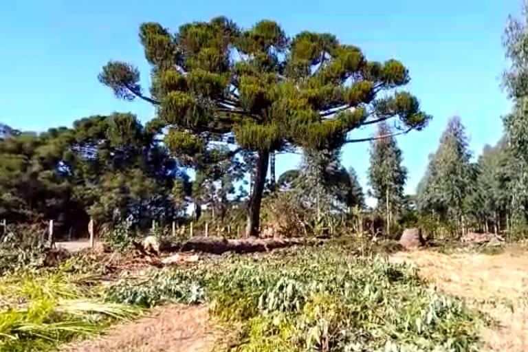 Em maio, quando as imagens foram gravadas por Schepiura, as araucárias estavam carregadas de pinhões; a espécie, símbolo do Paraná, é ameaçada de extinção; vemos uma grande araucária, cercada por outras árvores menores