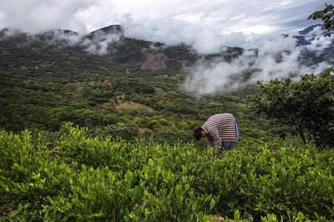 LA PAZ, BOLIVIA. 11/01/2020. ESPECIAL DROGAS. O cocaleiro Elton Antonio Moran colhe folhas de coca em sua plantacao proxima ao povoado de Huancane, na regi‹o dos Yungas, tradicional zona produtora de coca da Bolivia. ( Foto: Lalo de Almeida/ Folhapress ) COTIDIANO.  ***EXCLUSIVO FOLHA*** ORG XMIT: AGEN2002121947596363