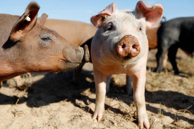 Criação de porcos em fazenda na Alemanha