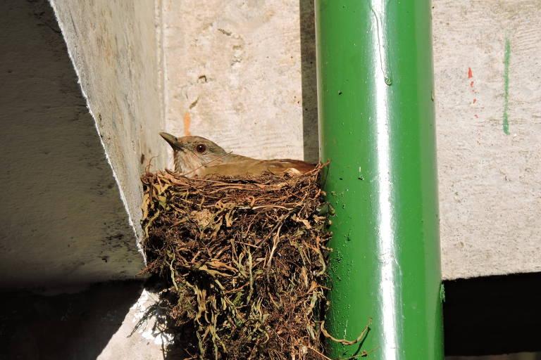 Sabiá-barranco em ninho feito próximo a construção em São Carlos (SP)