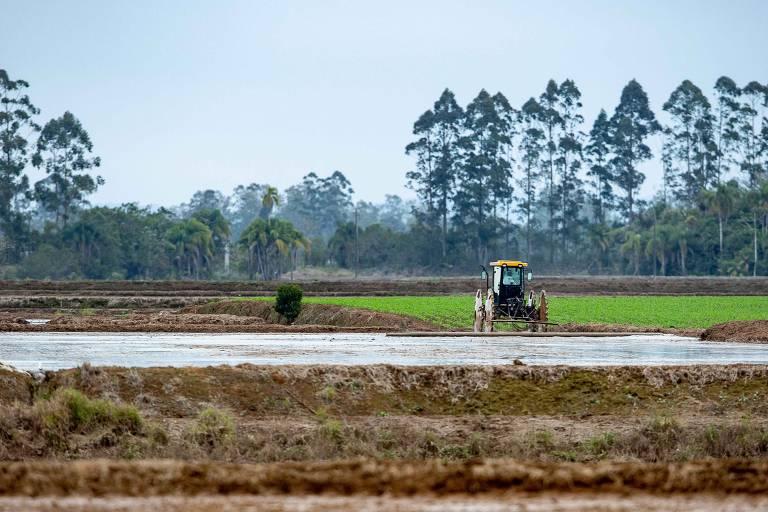 Safra de produção de arroz em Araranguá (SC)