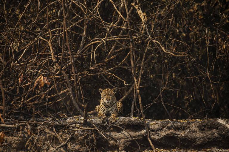 Onça-pintada descansa em área queimada às margens do rio Três Irmãos, no Pantanal