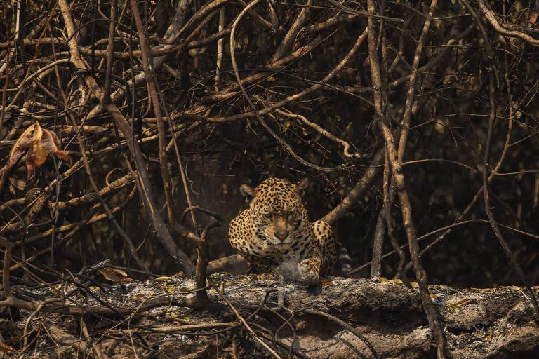 Incêndio no Pantanal ameaça experiência bem-sucedida de conservação de onças via turismo