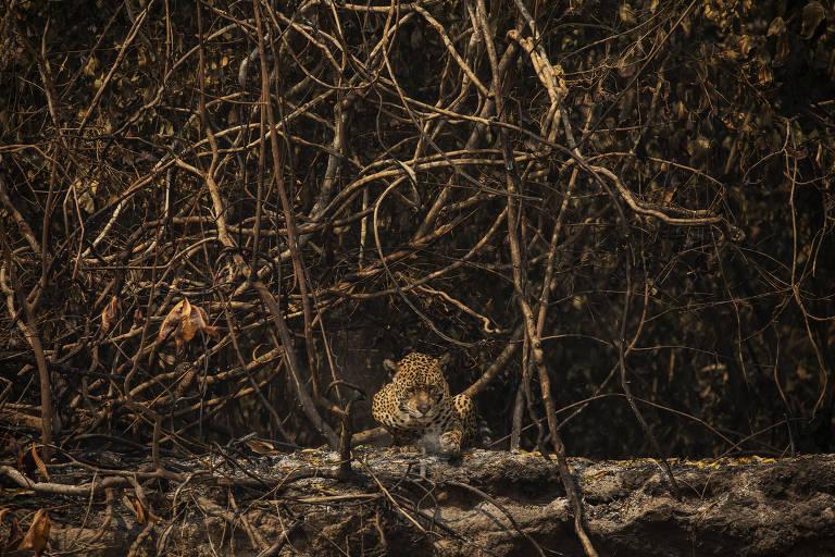 Onça-pintada remexe as cinzas em área queimada no Parque Nacional Encontro das Águas