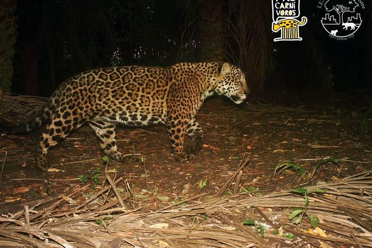 Sumiço de mamíferos da fauna na América Latina