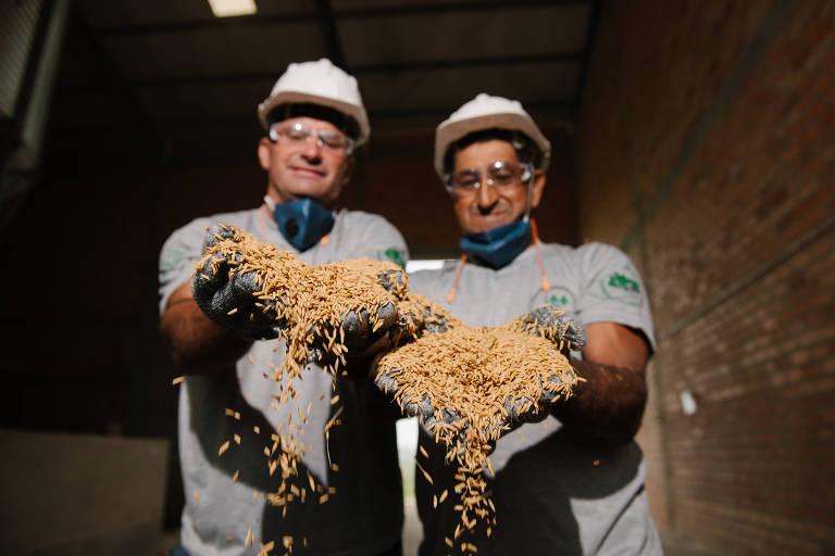 Dois produtores seguram grãos de arroz