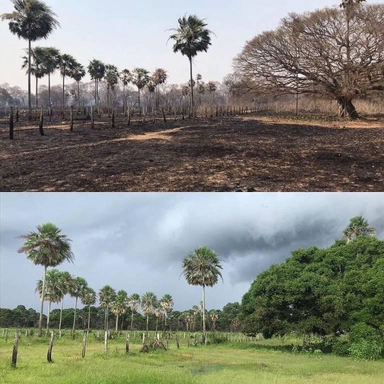 Duas fotos da mesma área de vegetação, a primeira está queimada, e a segunda verde