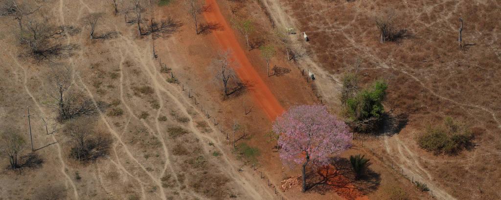Estrada de terra com curva, vista do alto, em terreno queimado, com vacas brancas