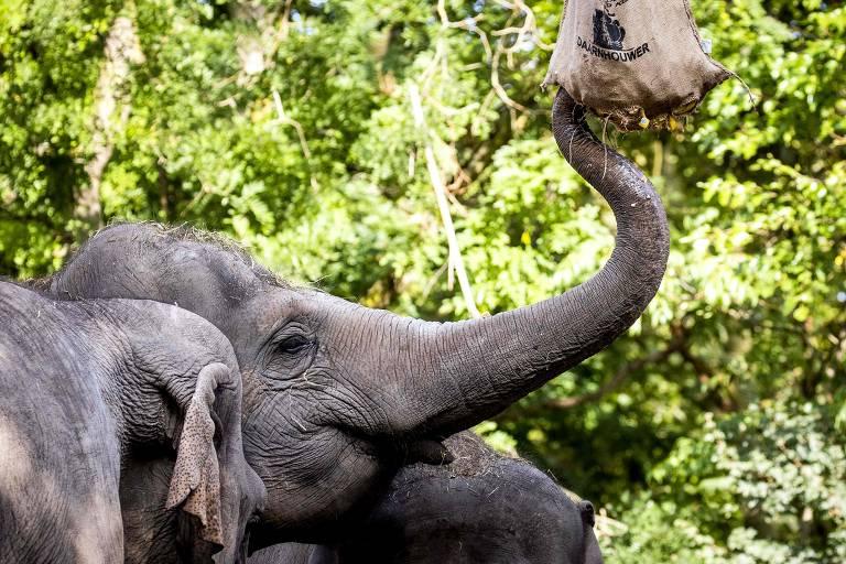 Foto foca a cabeça de Irma, elefanta de 50 anos, comendo uma guloseima em seu aniversário de 50 anos; ao fundo, árvores