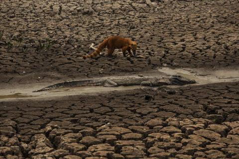 POCONE, MT. 14/09/2020. Quati observa um jacare morto em um corixo quase seco as margens da rodovia Transpantaneira, no Pantanal de Mato Grosso, pr—ximo a Pocone.  (Foto: Lalo de Almeida/ Folhapress )  COTIDIANO ***EXCLUSIVO FOLHA ****