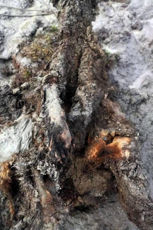 As incríveis imagens do urso da idade do gelo encontrado praticamente intacto na Rússia