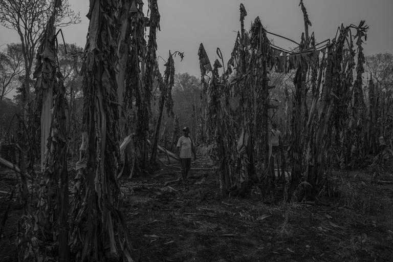 Agricultor no meio de plantação de banana destruída por incêndio no Pantanal.