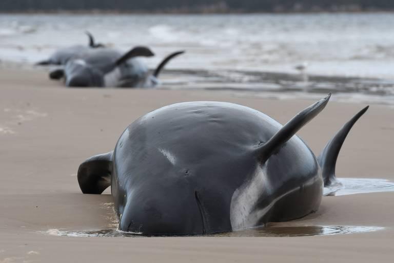 Baleia encalhada na areia; ao fundo, outra baleia e o mar