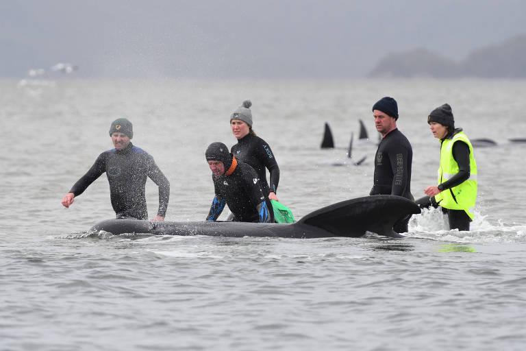 Equipes salvam 25 baleias encalhadas na Austrália e esforços continuam; 90 morreram