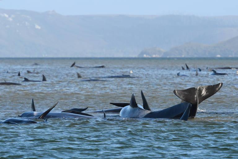 Austrália salva 25 baleias encalhadas e esforços de resgate continuam