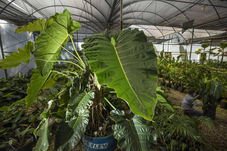 Philodendron maximum, que fica em estufa no Jardim Botânico Inhotim, ganha destaque no Google Arts & Culture